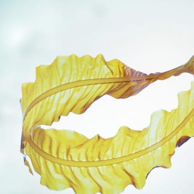 Alaria esculenta alga