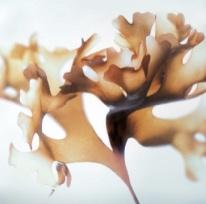 Chondrus crispus alga