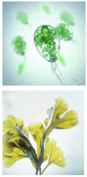 zöldalga, barna alga